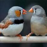 У пьяных птиц тоже заплетается язык