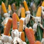 Американские фермеры отказываются от ГМО семян