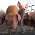 В российских регионах обнаружена чума свиней