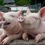Православие и Библия: свинина признана несъедобной?