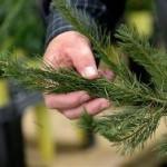 Биологи задумались о спасении хвои на новогодних елках