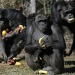 Вирус Эбола может уничтожить человекообразных обезьян