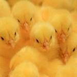 На брянской птицефабрике сгорело 600 тысяч цыплят