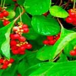 Вспышка гепатита в Австралии вызвана китайскими ягодами