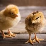 Цыплята знают о числовой прямой