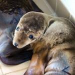 Огромное число морских львов выбросилось на побережье Калифорнии