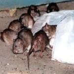 У крыс в Нью-Йорке нашли блох-возбудителей чумы