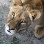 В белгородском зоопарке львица убила нетрезвого мужчину