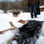 Камчадалы: единорос раскатал на снегоходе собак