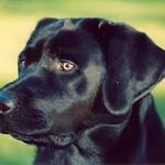 Опыты с собакой, вынюхивающей рак, принесли успех