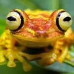 Ученые нашли в Эквадоре лягушку, меняющую свое тело