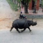 Носорог в Непале убил женщину